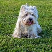 Pies West terrier