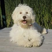 Krzyżówka psów