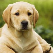 Labrador - szczeniak