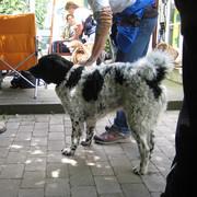 Fryzyjski pies