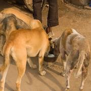 Psy w Indiach