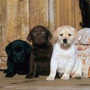 Szczeniaki Labradora