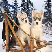 Sanie i Husky