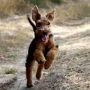 Shayka Borowe Psy (4 miesiące)