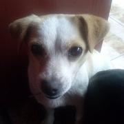 Mika-jack russel terrier