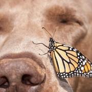 Motyl Monarcha i pies