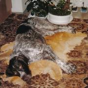Odpoczynek psa myśliwskiego