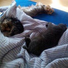 śpiące towarzystwo yorki + kot brytyjczyk