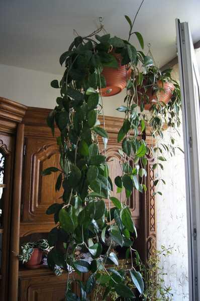 Hoya woskownica