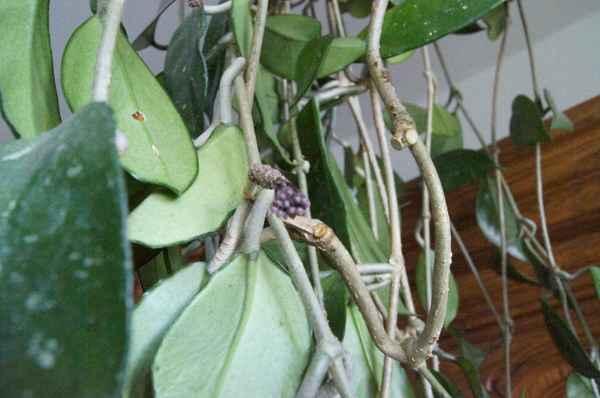 Hoya  woskownica i jej kwiaty