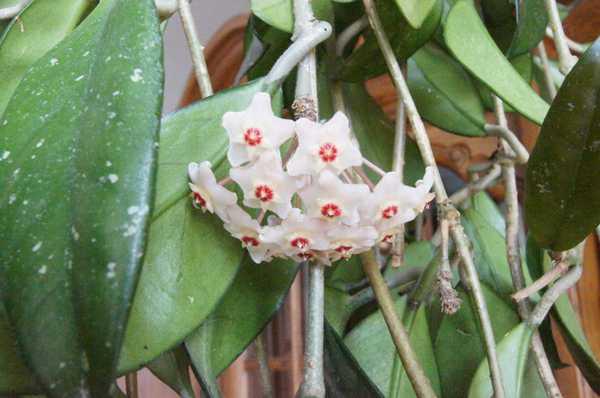 Kiwatostan w pełni rozkwitniety Hoyi woskownicy