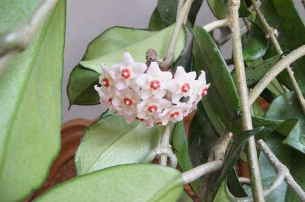 Kwiaty Hoyi