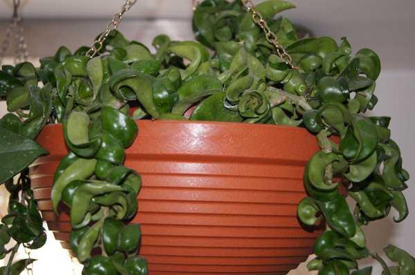 Hoya compacta zielona