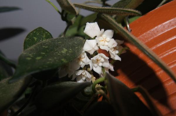 Śnieżne kwiaty Hoyi Thomsonii