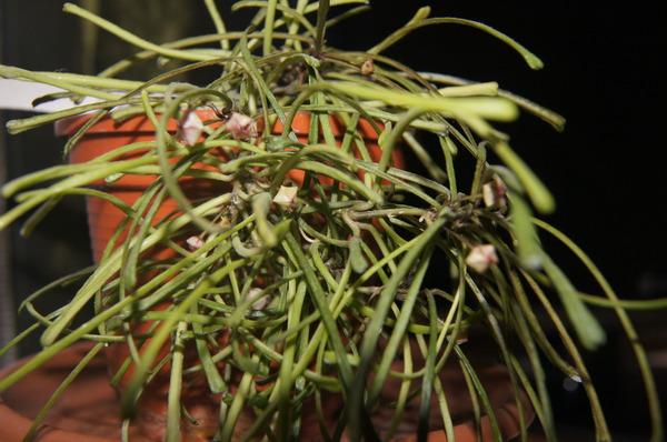 Hoya retusa kwitnąca