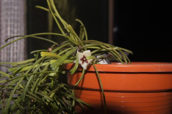 Kwiat Hoyi retusy