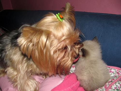 Mój piesek  York z kotkiem Boni