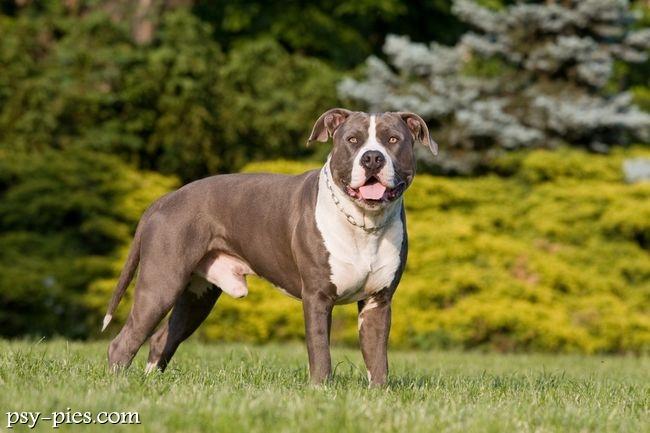 American Staffordshire Terrier Champion Canine Club   Auto Design Tech