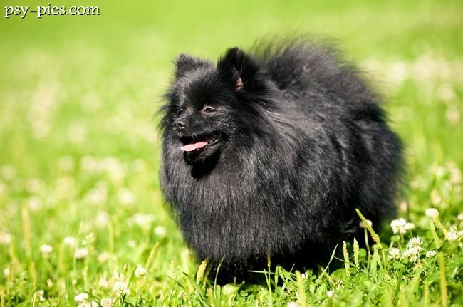 pies szpic miniaturowy pomeranian