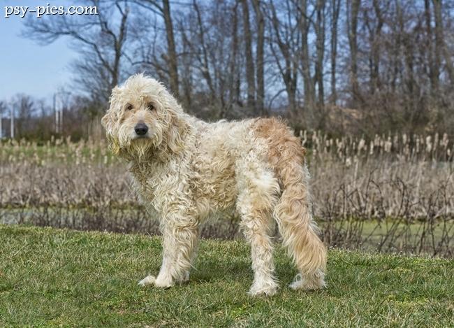 Designerskie rasy psów - Goldendoodle, Puggle