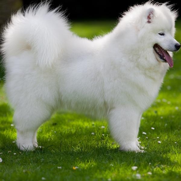 Inteligentny Psy o maści białej RT41