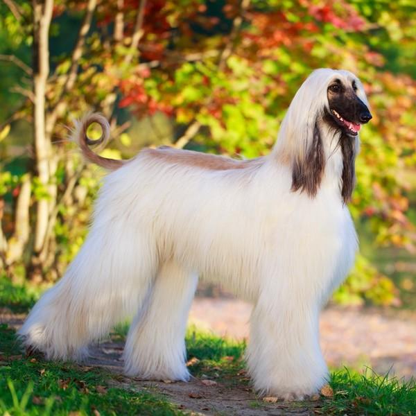 Najpiękniejsze Długowłose Rasy Psów