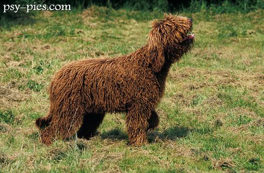 Ogromny Barbet (Francuski Pies Dowodny) WI64