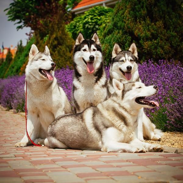 Alaskan Malamute W Polsce Zdjęcia psów Syb...