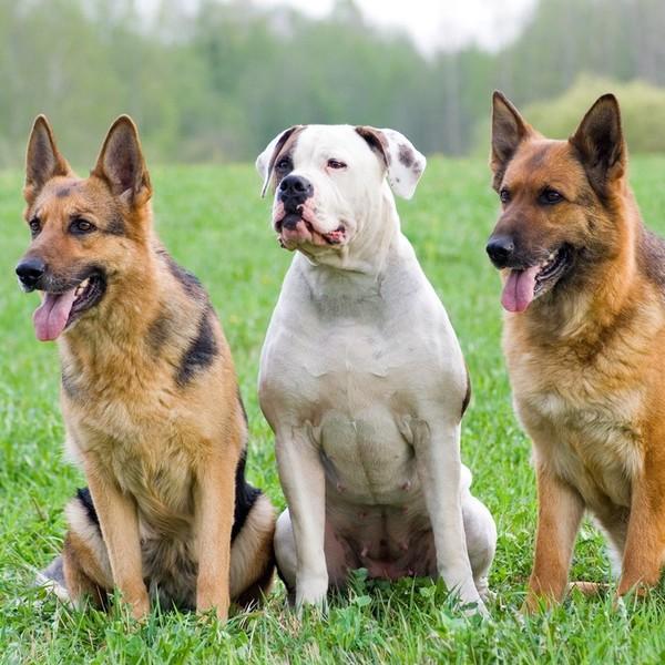 Świeże Rasy psów obronnych ze zdjęciami KV73