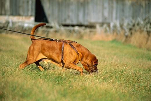 Praca węchowa psa
