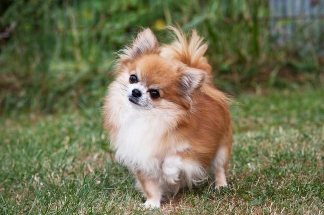 Psy Długowłose Cz 3 Małe I Bardzo Małe Rasy Psów Długowłosych