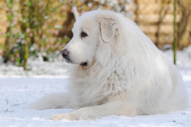 Duzy Pies Pirenejski Opis I Cena