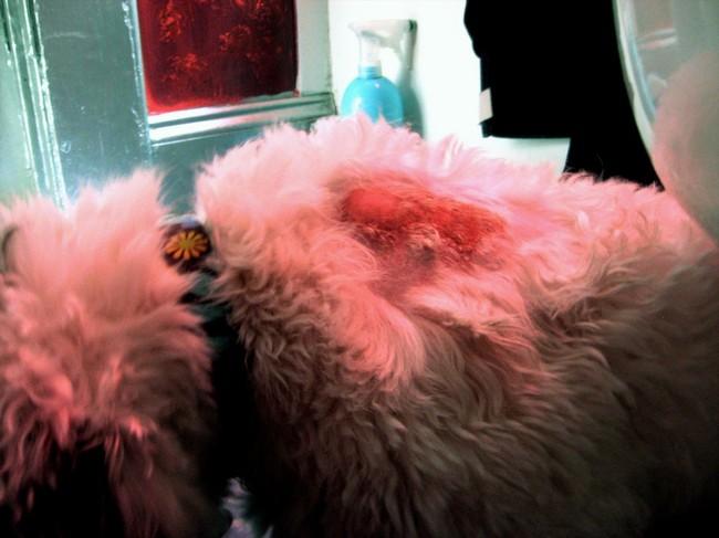 Hot Spot Czyli Ostre Sączące Zapalenie Skóry U Psa