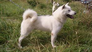 Tatuaż Psa Rasowego