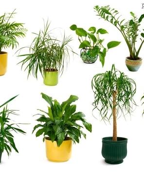 Rośliny doniczkowe trujące