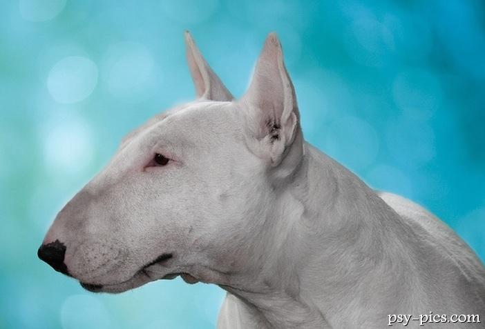 Pitbull Vs Dogo Vs Bully Kutta Picarena Image Match ...