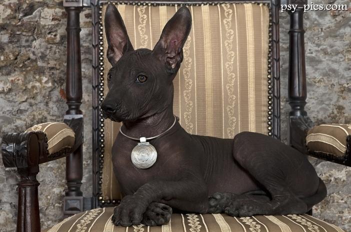 Rzadkie rasy psów w Polsce Xoloitzcuintli On Sale