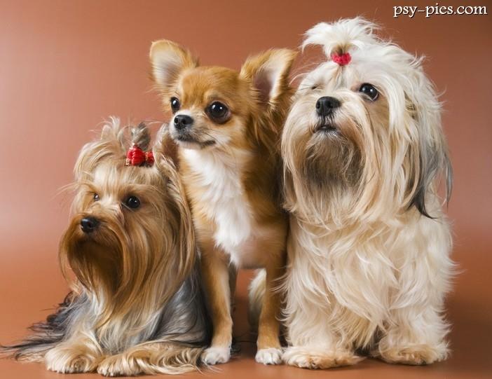 Modernistyczne Rasy psów małych RY16