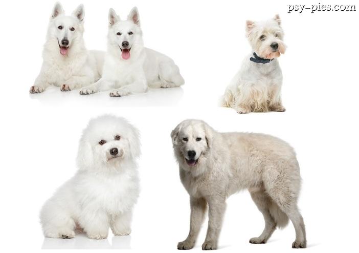 Góra Białe rasy psów VR87