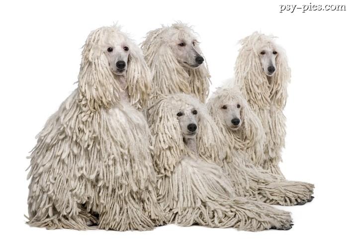 Psy Długowłose Cz2 Rzadkie Rasy Psów Długowłosych