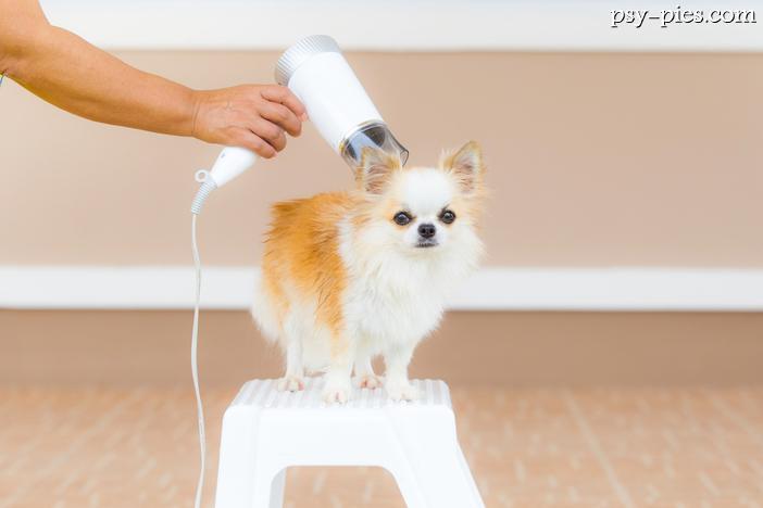 Jak Pielęgnować Psy Chihuahua