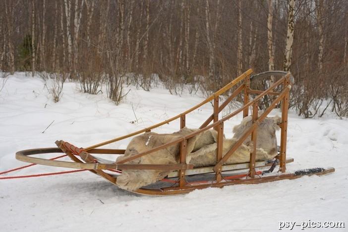 Alaskan Malamute W Polsce Sanie zaprzęgowe dla ...