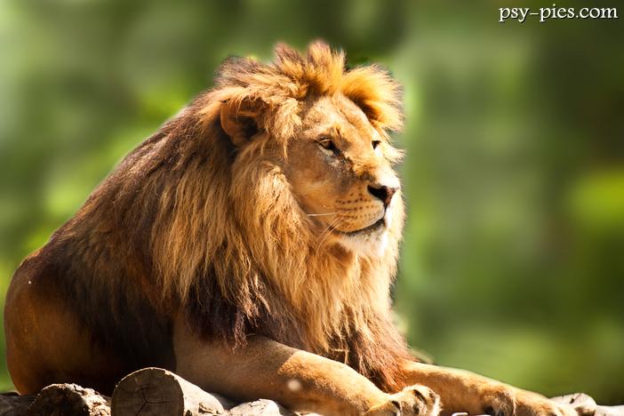 Znalezione obrazy dla zapytania Polowanie na lwy